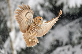 Landing tawny owl — Stock Photo