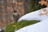 Peregrine Falcon sitting on ground in wood — Stock Photo
