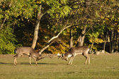 Fighting fallow deers in rut — Stockfoto