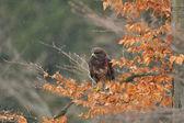 Common Buzzard sitting on branch — Stock Photo