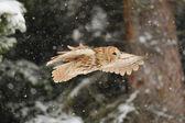 Flying tawny owl — Stock Photo