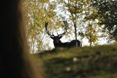 Fallow deer in forrest — Stock Photo