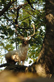 White fallow deer in forrest — Stockfoto