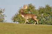 Fallow deer on green grass — Stock Photo
