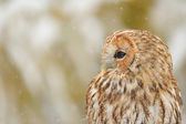 Tawny owl portrait — Stock Photo