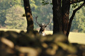 Fallow deer with forrest in background — Stockfoto
