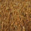 Wheat field — Stock Photo #36048741