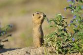 European ground squirrel in the flowers — Stock Photo