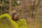 Eurasian Eagle Owl standing on rock with moss — Stock Photo