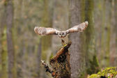 Tawny Owl flying from tree stump — Stock Photo