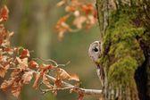 Puszczyk hiddne za pnia drzewa — Zdjęcie stockowe