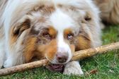 Australian Shepherd playing with wooden stick — Stock Photo