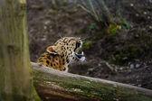 Amur leopard cub roar behing tree — Stock Photo