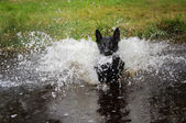 Black dog in water splashing around — Stock Photo