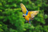 Flying blue-and-yellow Macaw - Ara ararauna — Stock Photo