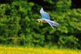 Flying blue-and-yellow Macaw - Ara ararauna — Stock Photo