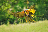 Landing blue-and-yellow Macaw - Ara ararauna — Stock Photo