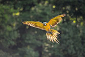 Landing blue-and-yellow Macaw - Ara ararauna in backlight — Stock Photo