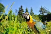 Closeup blue-and-yellow Macaw - Ara ararauna in grass — Stock Photo