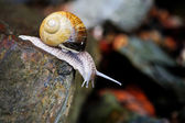Curious snail on stone — Stock Photo