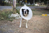 Dog wearing collar. Blind. Bandage. — Stockfoto