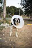 Dog wearing collar. Blind. Bandage. — Foto de Stock