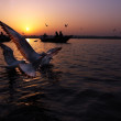 Black Headed Gulls playing in the early morning sunlight during sunrise at Varanasi-India. — Stock Photo