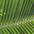 Coconut leave — Stock Photo #36509773
