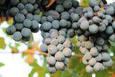 Grapes — Stockfoto