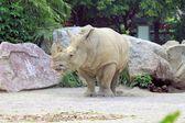 Rhino — Stock Photo