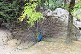 Peacock — Stock fotografie