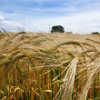 Stock Photo: Summer barley crop