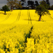 Canola or Rapeseed crop — Stock Photo #30745823