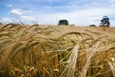 Summer barley crop — Stock Photo