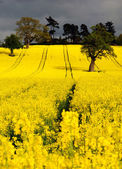 Canola or Rapeseed crop — Stock Photo