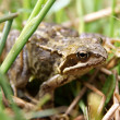 Common European Frog — Stock Photo