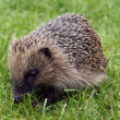 Young Hedgehog — Stock Photo #30869821