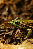 Southern Bell frog — Stock Photo