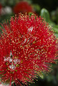 Flowers of the Pohutukawa Tree (Metrosideros excelsa) — Stock Photo