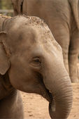 Asian Elephant — Foto Stock