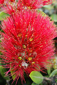 Flowers of the Pohutukawa (Metrosideros excelsa) — Stock Photo