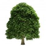 Chestnut Tree Isolated — Stock Photo #31099627