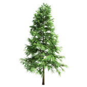 Scotch Fir Tree Isolated — Stock Photo