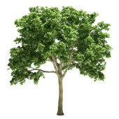 Elm Tree Isolated — Stock Photo