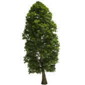 Linden Tree Isolated — Stock Photo