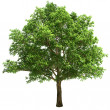 Big Oak Tree Isolated — Stock Photo