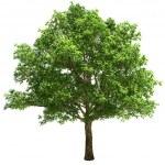 Big Oak Tree Isolated — Stock Photo #31101829