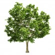 Canadian Big Maple Tree Isolated — Stock Photo