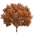 Fall Maple Tree Isolated — Stock Photo
