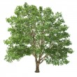 Big basswood Tree Isolated — Foto Stock